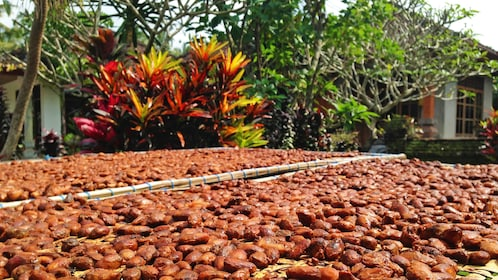 Cocoa beans drying in sun in Bali