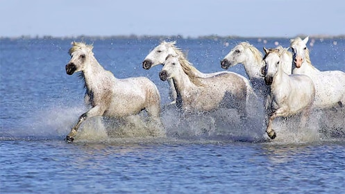 wild stallions galloping in shallow water in Provence