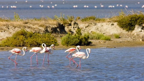 pink flamingos grazing in the water in Provence
