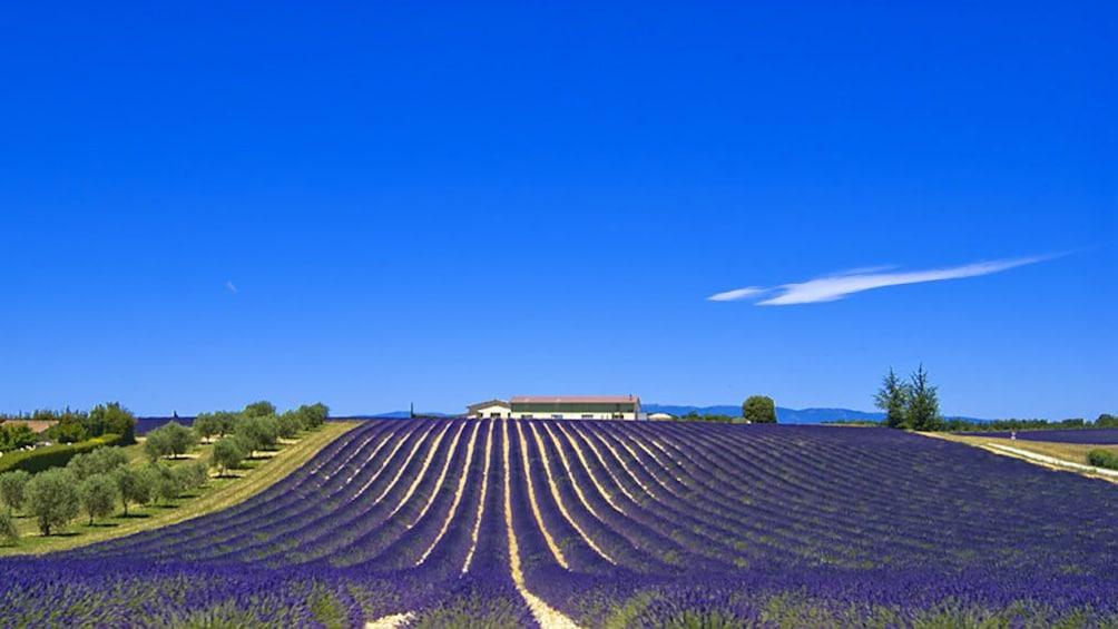 Charger l'élément 1 sur 4. a field of lavender in Provence