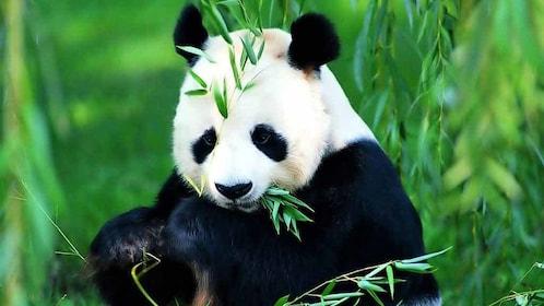 Panda eating leaves in china