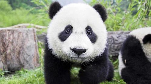 young panda in china