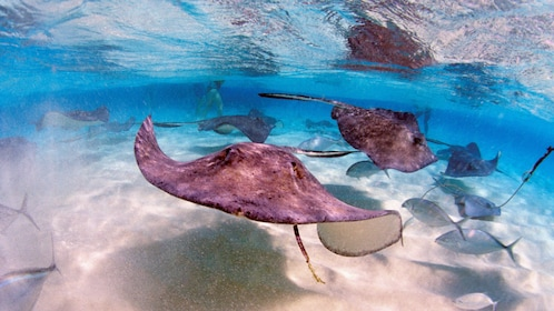 Stingrays swimming in shallow water in Grand Cayman