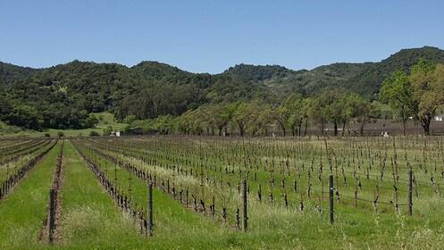 Vineyard in California