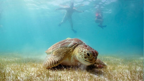 Snorkelers and turtle in the Caribbean