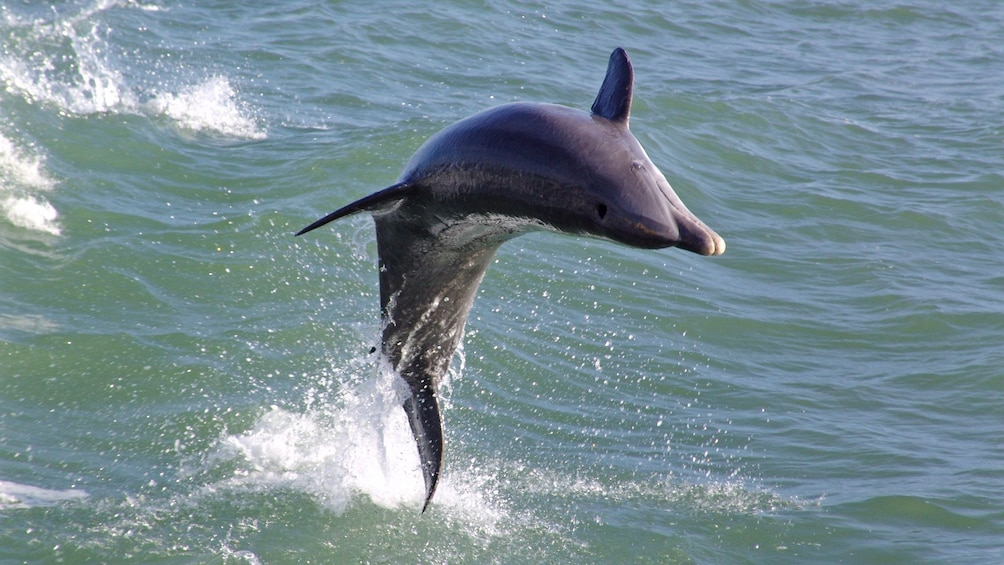 Close view of a dolphin in St. Petersburg, Florida