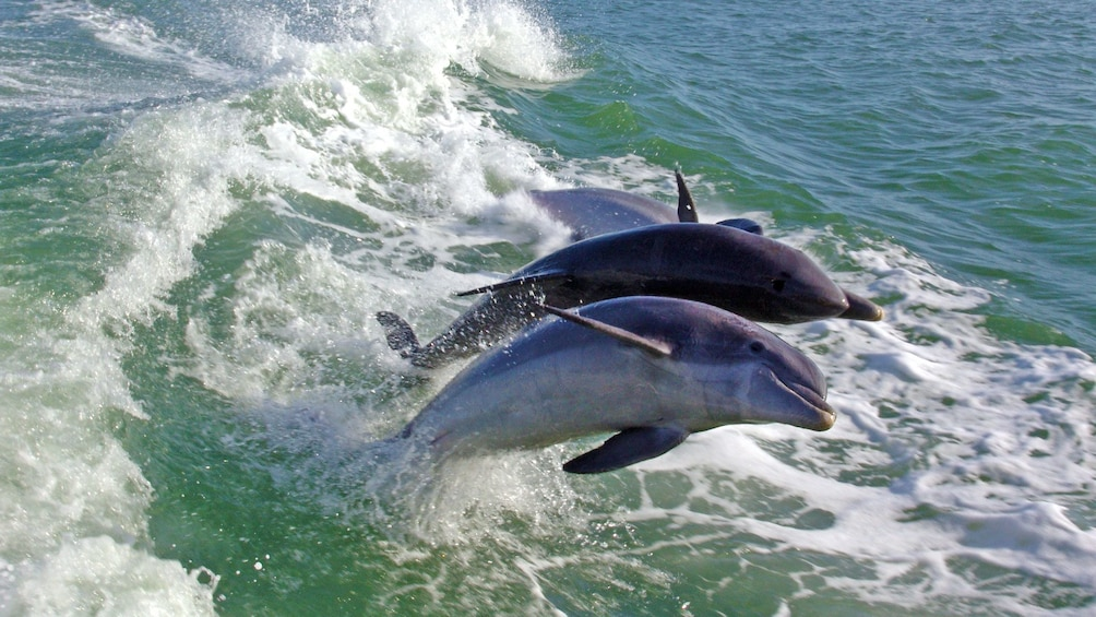 Show item 5 of 8. Pair of dolphins in St. Petersburg, Florida