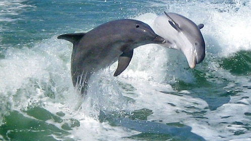 Stunning view of dolphins in St. Petersburg, Florida