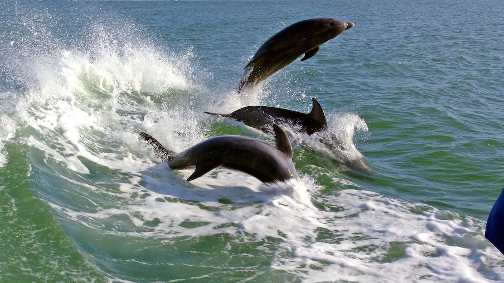 Show item 8 of 8. Pack of dolphins in St. Petersburg, Florida