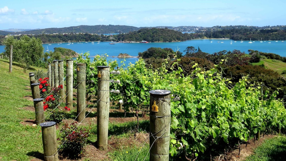 rows of grape vines in new zealand