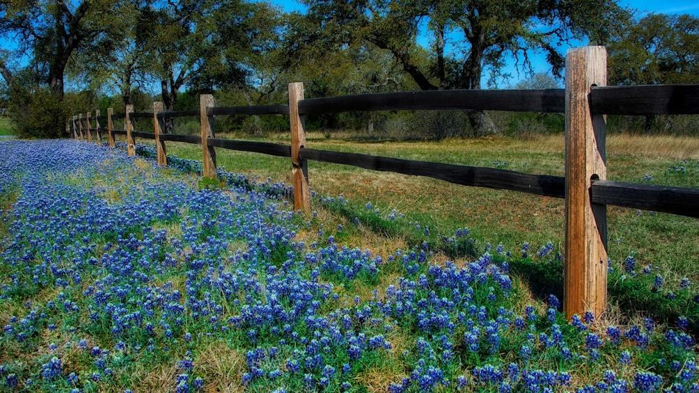blue flowers along wooden fence in san antonio