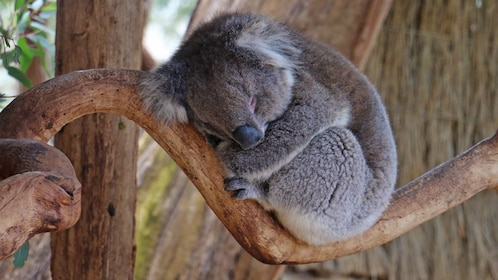 sleeping koala at the Cleland Wildlife Park in Crafers