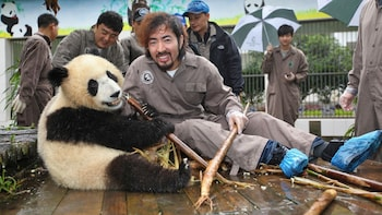 Volunteer at Chengdu Panda Rescue for a Day