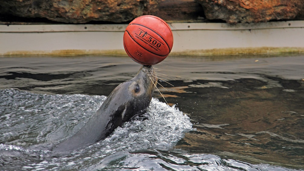 Show item 4 of 8. Seal balancing a basketball at Theater of the Sea in Islamorada, Florida