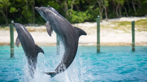 Dolphins jumping from water on Balmoral Island
