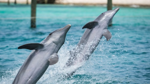 Dolphins leaping out of the water on Balmoral Island