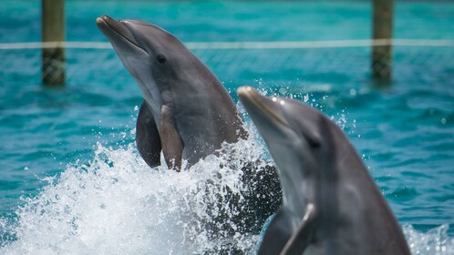 Pair of dolphins on Balmoral Island