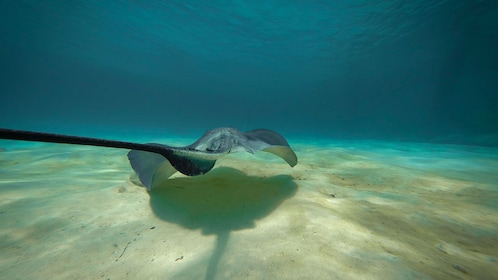 Stingray swimming along the sand on Balmoral Island
