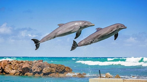 Dolphins jumping from the water in jamaica