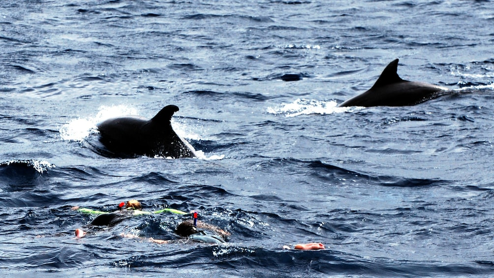 Show item 5 of 5. Two dolphin dorsal fins surface next to two snorkelers