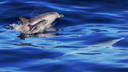 A dolphin and its baby surface out of the water while a dolphin swims just underneath the surface.