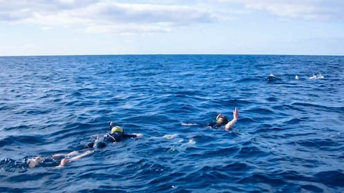 Snorkelers swimming in ocean with dolphins.