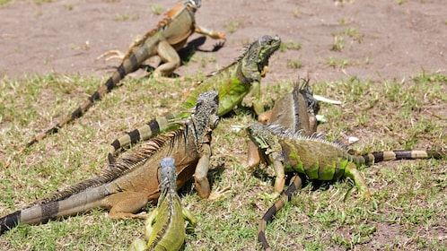 group of iguanas in mexico