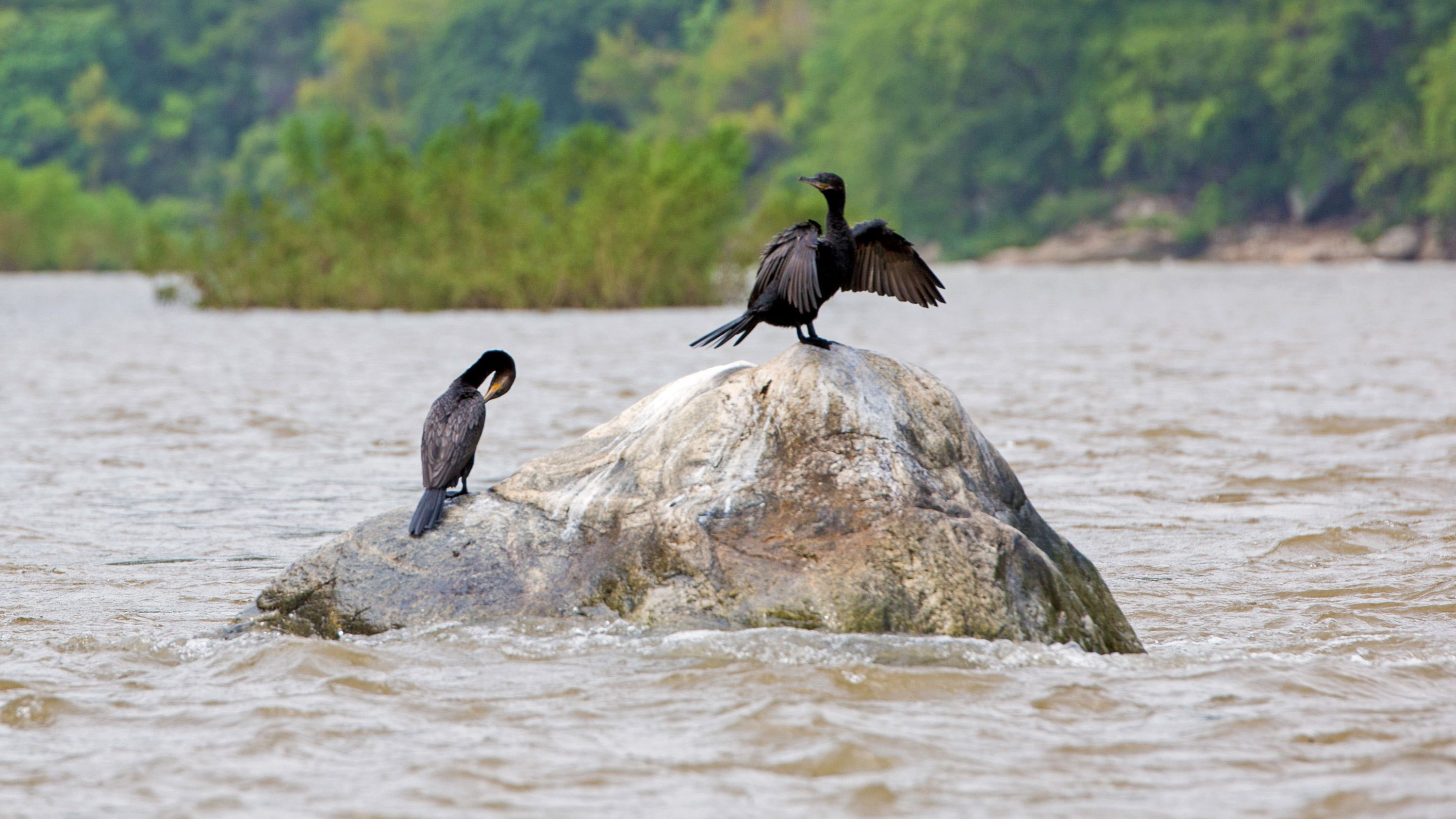 Two water birds sit on a rock on the Rio Copalita