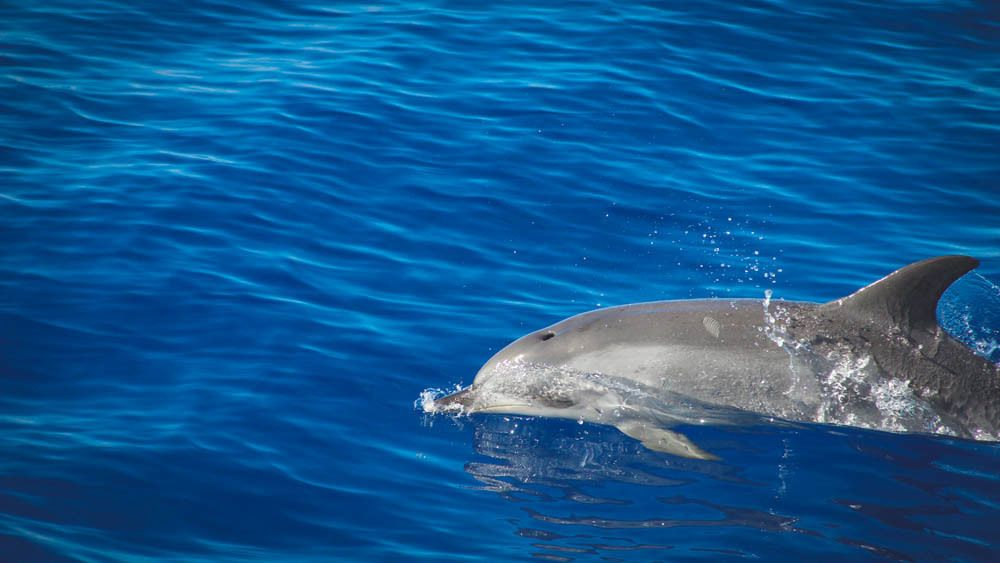 Close up of dolphin swimming across water.