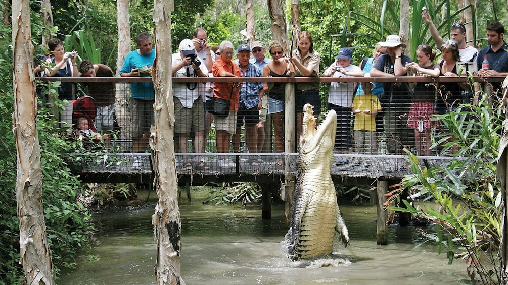 crocodile jumping for food with people watching in cairns