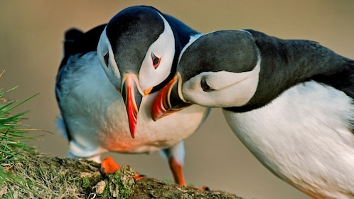 Puffins together in Iceland