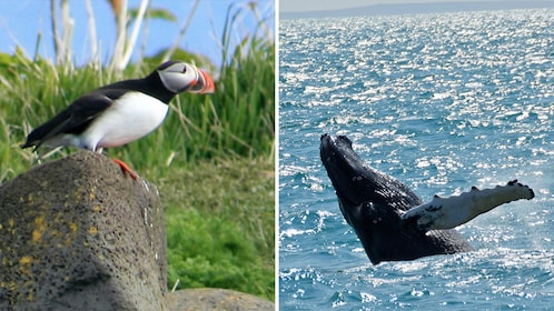 Combo image of Puffin and Whale