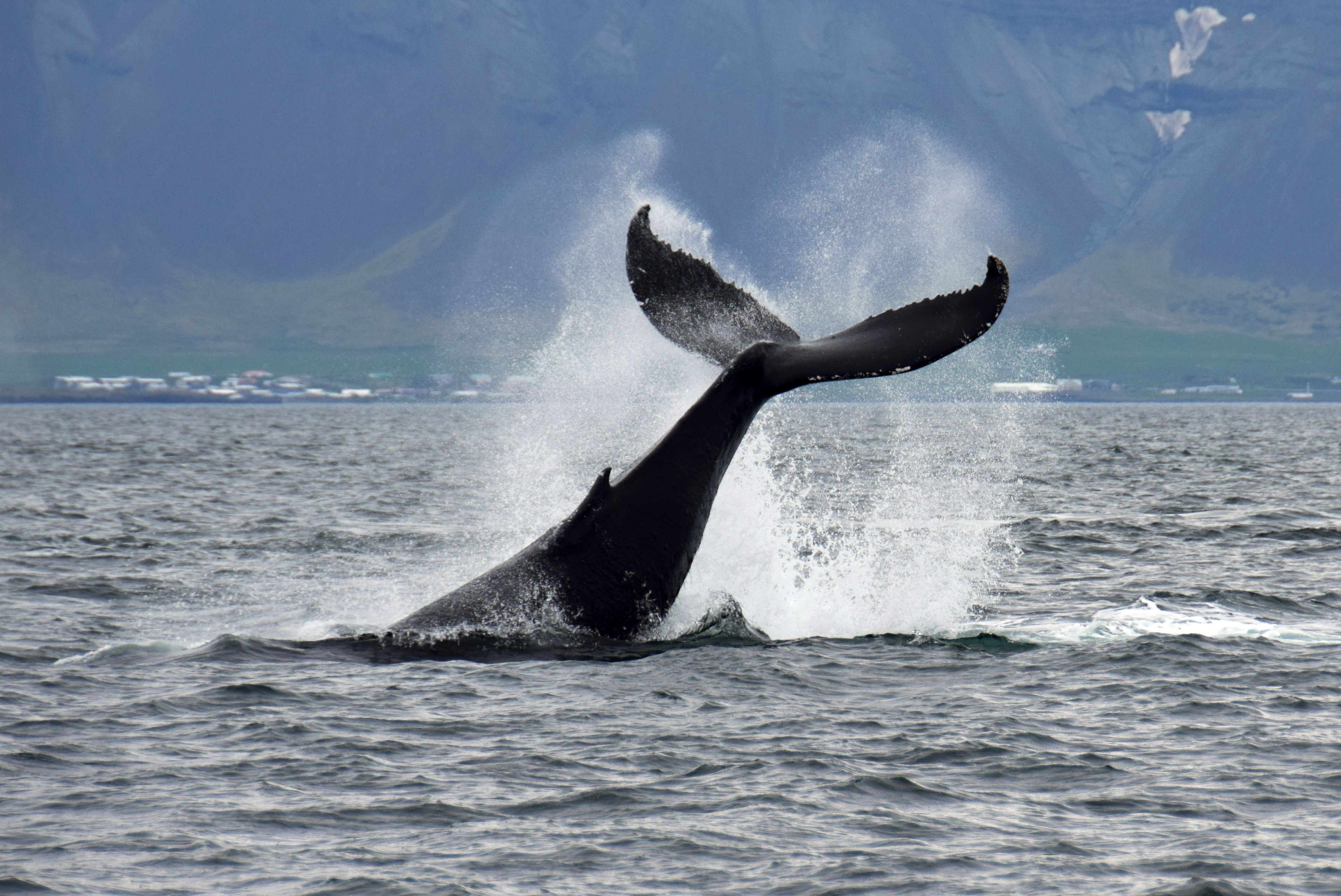 Whale Watching_SpecialToursIceland8.jpg