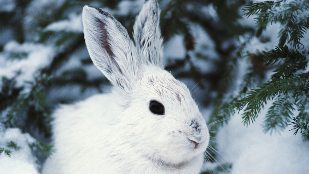 Show item 3 of 5. Snowshoe Hare in the Snow