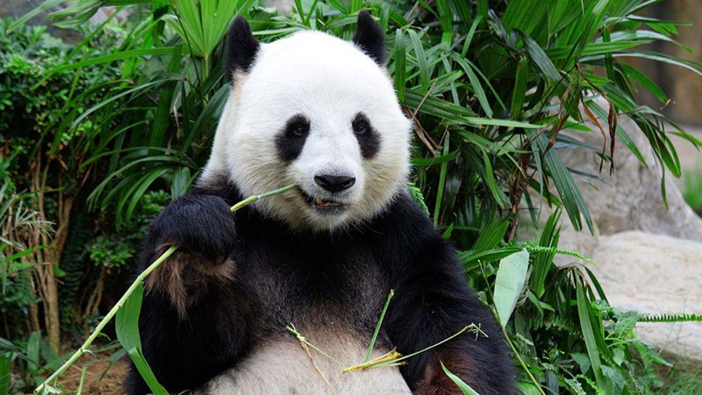 Private Full-Day Panda Tour in Chengdu