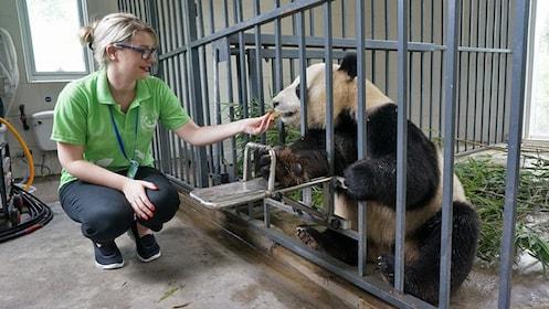 Panda in cage with girl in Chengdu