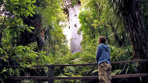 man looking at a tall forest tree in New Zealand