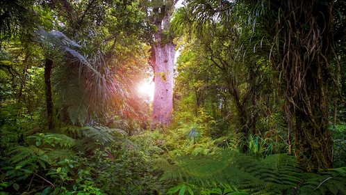 sun partially blocked by the tall forest tree in New Zealand