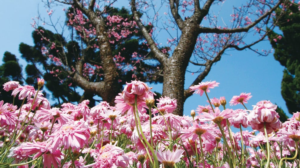 Show item 3 of 4. Ground view of the pink flowers at the Yangmingshan National Park in Taipei