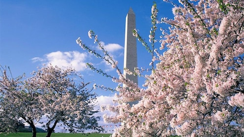 Cherry blossoms shown in front of Washington Monument.