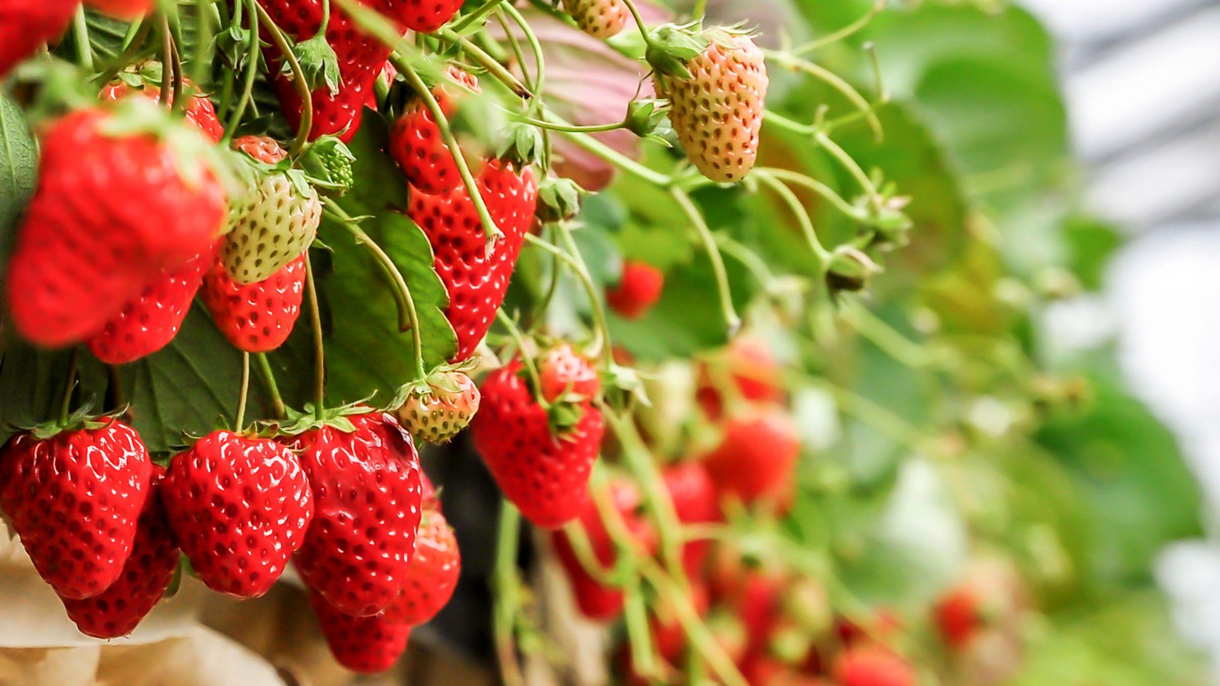 fresh strawberry on the vine