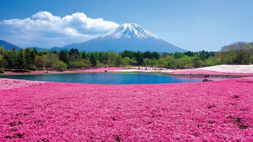 Field of pink flowers with Mount Fuji in the background in Japan