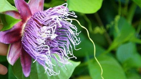 purple tropical flower in bora bora