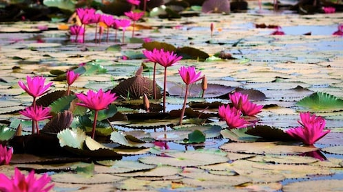 lily pads and flowers in Cambodia