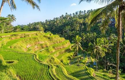 Bali, Tegalalang Rice Terrace (441)_236578609.jpg