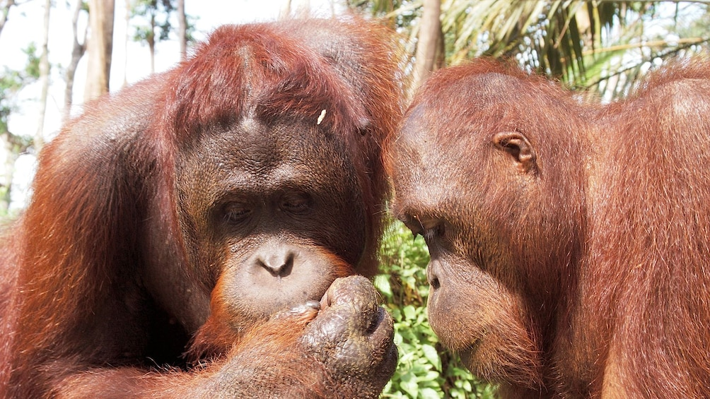 Private Orangutan and Charcoal Factory with Lunch