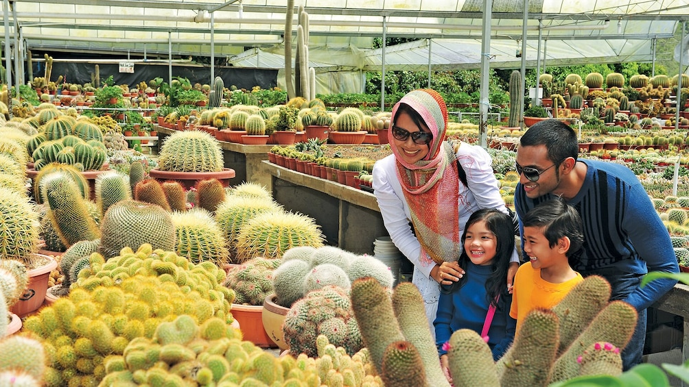 Show item 4 of 8. Private 2-Day Cameron Highlands Tour from Kuala Lumpur