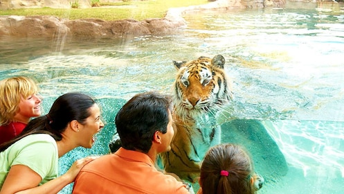 Family playing with tiger on other side of glass in Orlando