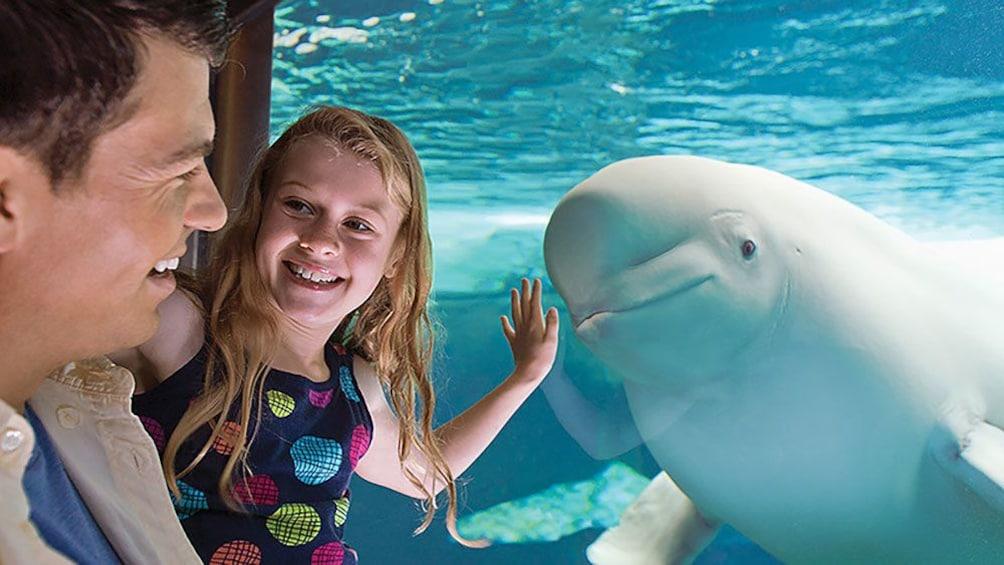 Carregar foto 3 de 10. Father and daughter look at Beluga whale in Orlando