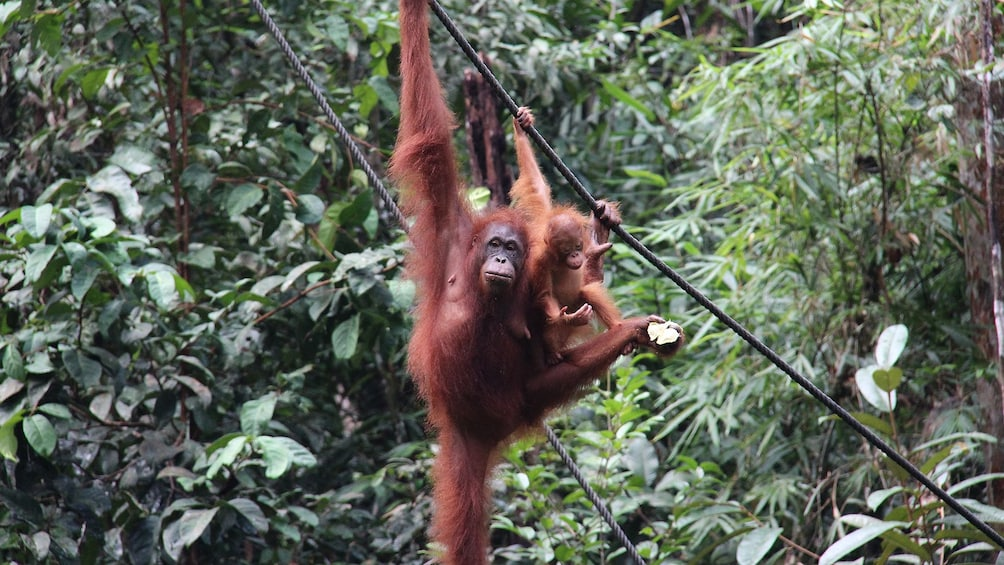 Show item 5 of 5. Private Semenggok Wildlife Rehab Center Tour